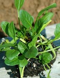 Edible garden: Spinach