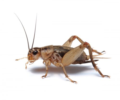 Howzat? Crickets are good for your gut