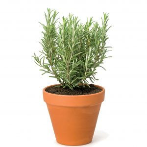 In season mid-winter: Rosemary, spinach