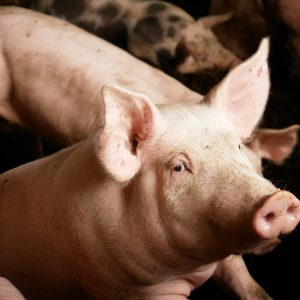 Ask the experts: Imported pork