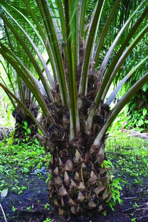 Ask the experts: Palm oil