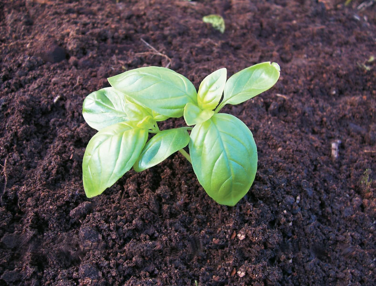 Edible Garden Growing Basil Healthy Food Guide