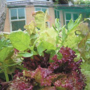Edible garden: Salad greens