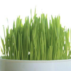 Fact or fiction: Wheatgrass