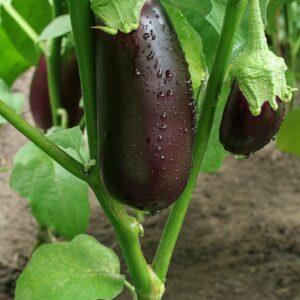 How to grow eggplants
