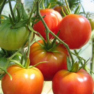 How to grow your own tomatoes