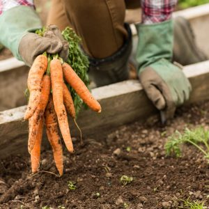 In the garden: Carrot gold