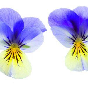 In season late spring: Edible flowers