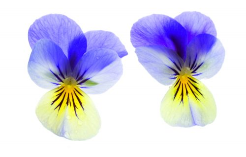In season late spring: Edible flowers