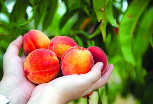 In the garden: Peachy keen