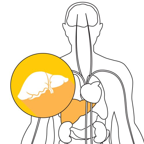 Inside your body: The liver