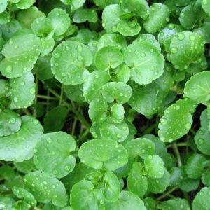 In season mid-winter: Watercress