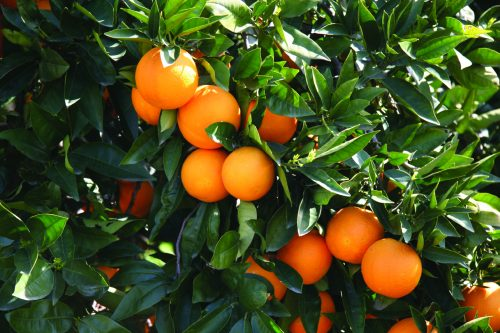 What to do with navel oranges
