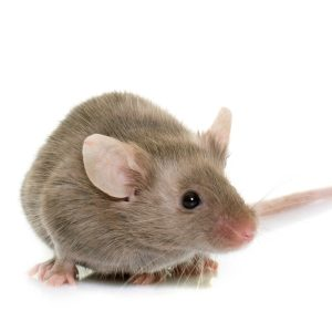 Too much salt bad for mouse brains