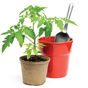 The lost plot: How to grow tomatoes