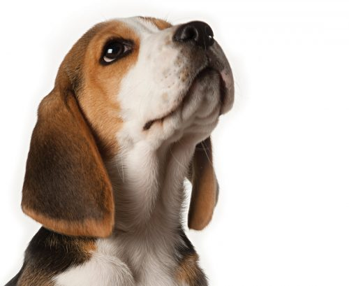 Dogs set to sniff out prostate cancer