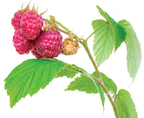 The lost plot: How to grow raspberries
