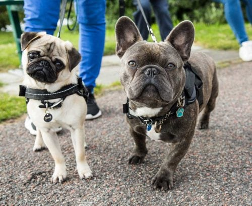 A pug dog and a French bulldog going for a walk on leads