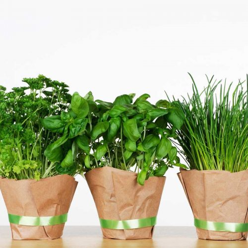 Fresh parsley, basil and chives in pots