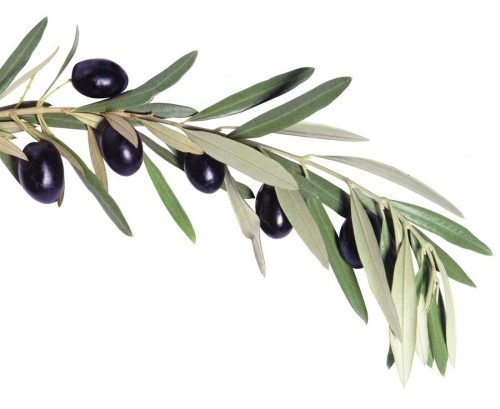 Olive branch with leaves and olives