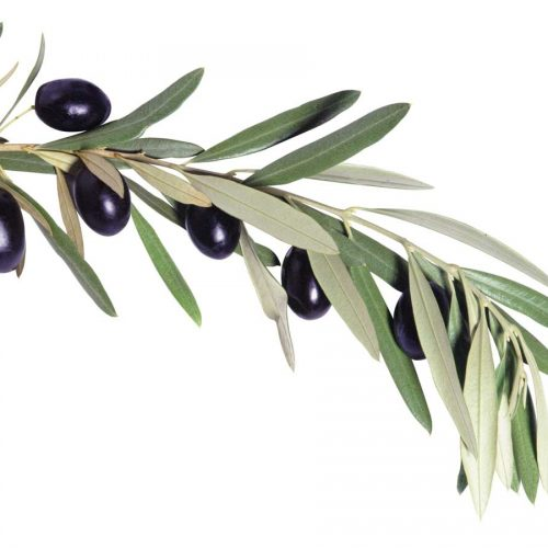 Myth buster: Does olive leaf extract work?