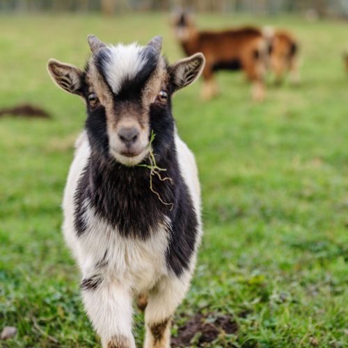 Is goat's milk good for you?